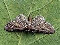 Eupithecia denotata - Campanula pug - Цветочная пяденица колокольчиковая (40902202562).jpg