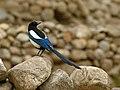 Eurasian Magpie (Pica pica bactriana) (28214860205).jpg