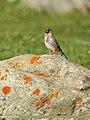 European Goldfinch (Carduelis carduelis) (37514161892).jpg