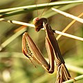 European Mantis (15485003963).jpg
