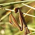 European Mantis (15485003963).jpg