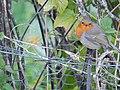 European Robin on a Fence.jpg