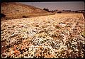 FIELDS OF DAISIES NEAR VANDENBERG AIR FORCE BASE - NARA - 542645.jpg