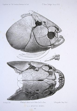 Piaractus brachypomus - Skull from side and above