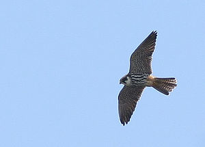Delichon - The hobby is agile and fast enough to catch swallows and martins.