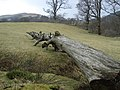 Fallen tree - geograph.org.uk - 1341109.jpg