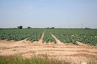 Spalding, Lincolnshire - A field just north of Weston Hills. The area around Spalding is strategically important for Britain's vegetable industry