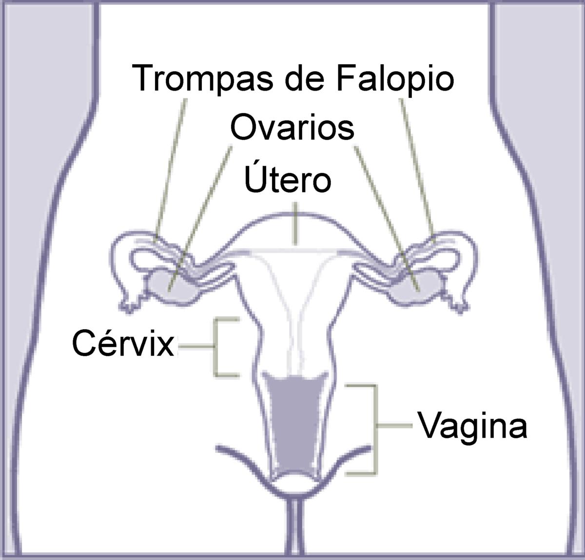 Cuello uterino - Wikipedia, la enciclopedia libre