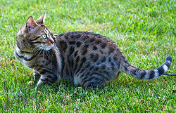 Female bengal cat outdoor.jpg