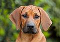 Female puppy 6121.jpg