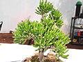 Fenestraria rhopalophylla-ALC-yercaud-salem-India.JPG
