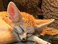 Fennec Fox (Vulpes zerda) -sleeping -Wilhelma Zoo-8.jpg