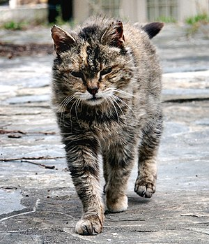 Feral barn cat. Virginia, 2002. Modified from ...