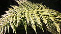Fern Leaves Black Background.JPG