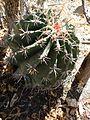 Ferocactus peninsulae ssp. townsendianus (5761759929).jpg