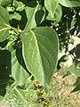 Feuille d'un lila commun (Saint-Maurice-de-Beynost, Ain, France).JPG