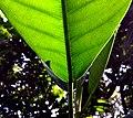 Ficus sp-2 140304-0237 tdp.JPG
