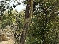 Ficus virens ? (3188139504).jpg