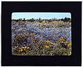 Field of poppies and lupin, California LOC 6995785792.jpg