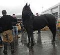 Fieracavalli 2014 - Cavallo Romano.jpg