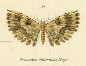 Fig.10-Alucita chloracta.JPG