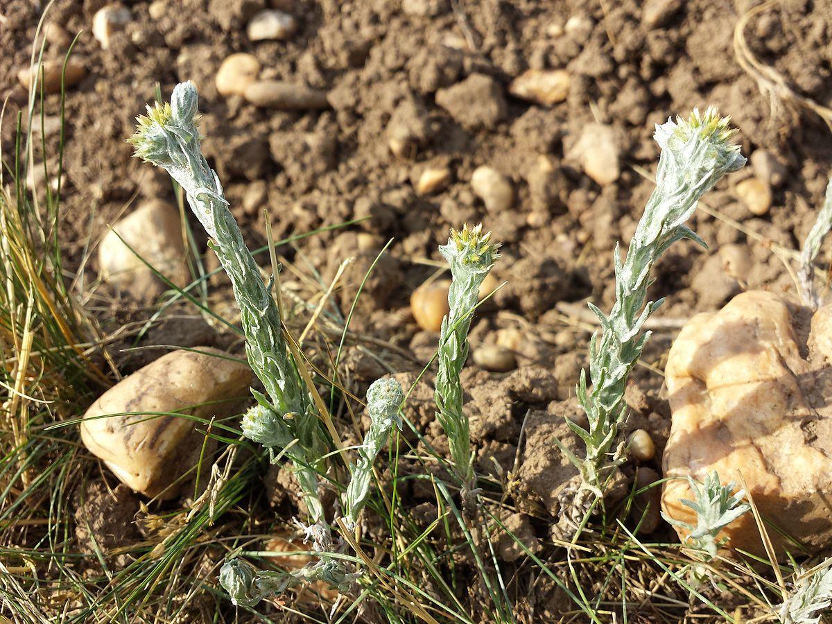 жабник трава фото блюда новый