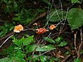 Filament Fungus Marasmius sp. with fruiting bodies (7844133282).jpg
