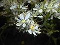 Filipendula vulgaris 2016-05-31 1912.jpg