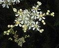 Filipendula vulgaris 2016-05-31 1918.jpg