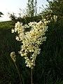 Filipendula vulgaris sl14.jpg