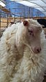 Finnsheep ewe being shorn by hand.jpg