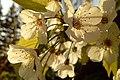 Fiori di ciliegio.jpg