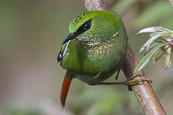 Fire-tailed Myzornis Old Silk Route, Sikkim, India 17 April 2015.jpg