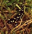 Fire Salamander (Salamandra salamandra) juvenile (44460165962).jpg