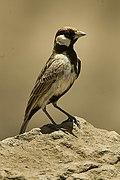 Fisher's Sparrow-Lark - Tanzania 2008-03-01 0063 (16759772588).jpg