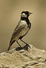 Fisher's Sparrow-Lark - Tanzania 2008-03-01 0063 (16759772588)