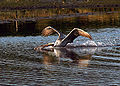 Fishing brown pelican.jpg