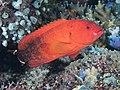 Flagtail grouper (Cephalopholis urodeta) (41949928710).jpg