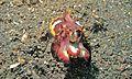 Flamboyant Cuttlefish (Metasepia pfefferi) (6062151056).jpg