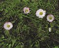 "Flickr - Per Ola Wiberg ~ mostly away - ""Bellis perennis"" blooming in november.jpg"