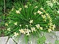 Flickr - brewbooks - Iris - our garden (2).jpg