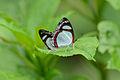 Flickr - ggallice - Biblidine mating pair.jpg