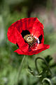 "Flower, Poppy ""Pierrot"" - Flickr - nekonomania.jpg"