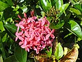 Flower, Tumon Bay, Guam - DSC00842.JPG