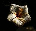 Flower at Night (3385521050).jpg