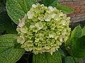 Flowers Nepal 10198.JPG