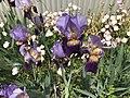 Flowers of Iris germanica 20180430.jpg