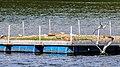 Flussseeschwalbe (16) (34185033734).jpg