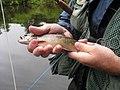 Fly Fishing Brook Trout New Brunswick (8437266739).jpg
