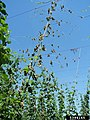 Foliar symptoms on hops caused by Verticillium.jpg